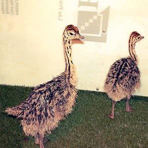 young ostrich chicks